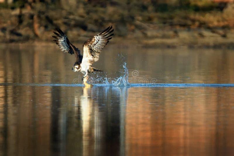 白鹭的羽毛- Pandion寻找鱼的haliaetus鸷,也称海鹰、河鹰和鹗是昼夜的,鱼吃 库存图片