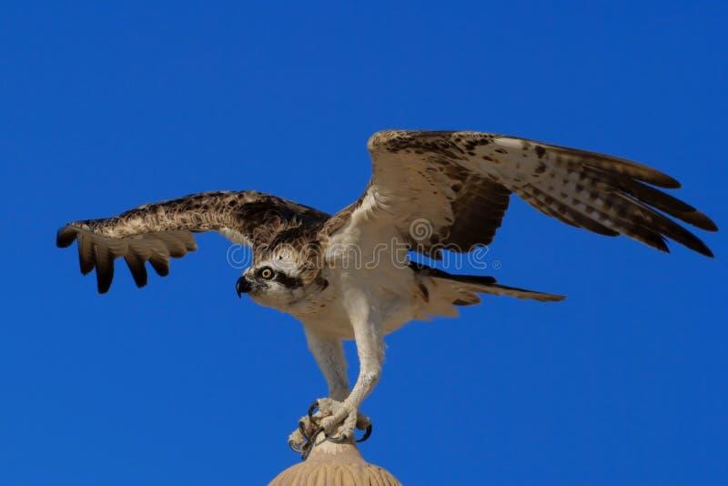 白鹭的羽毛Pandion haliaetus,有时叫作海鹰、鱼鹰或者鹗 图库摄影