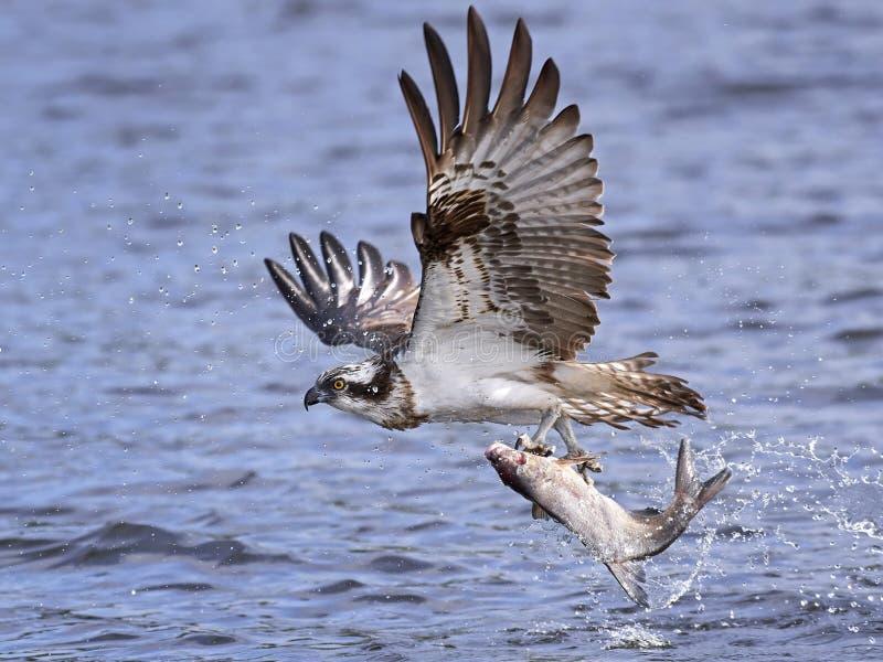 白鹭的羽毛Pandion Haliaetus 库存图片