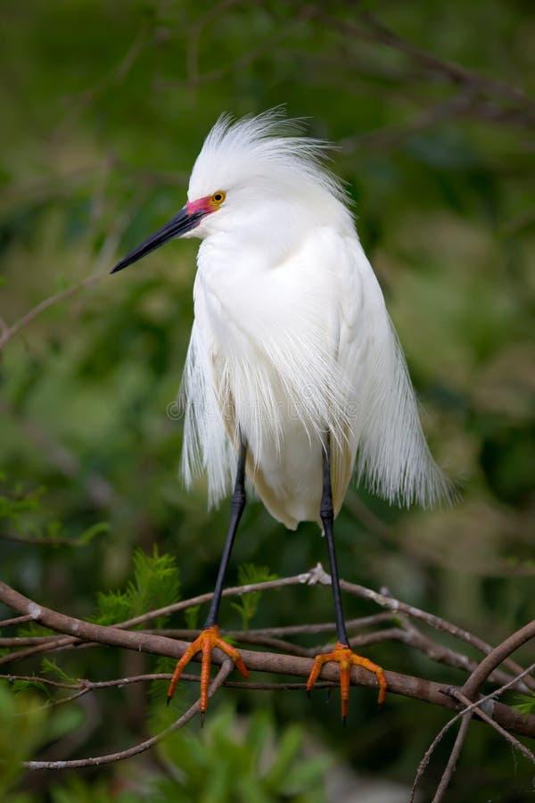 白鹭繁殖的颜色 库存照片
