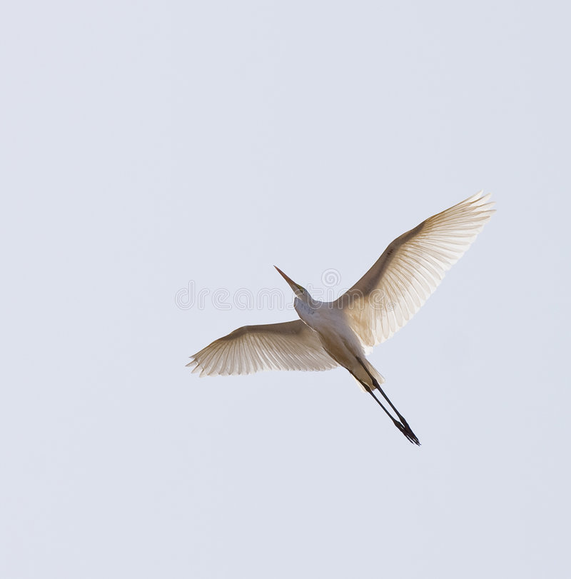 白鹭飞行巨大白色 免版税库存照片