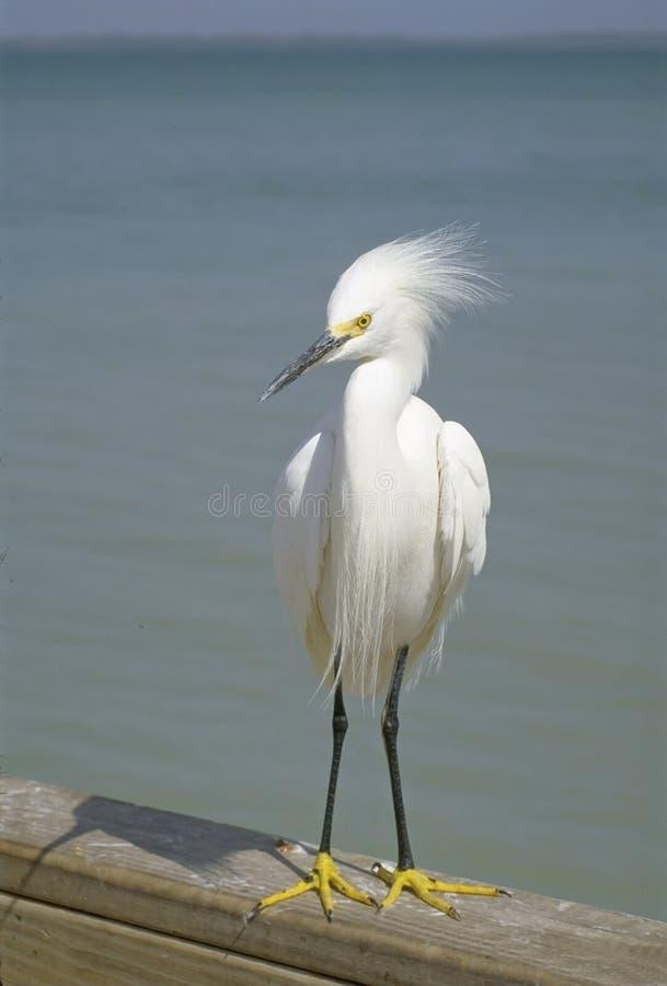 白鹭,佛罗里达鸟  免版税库存照片