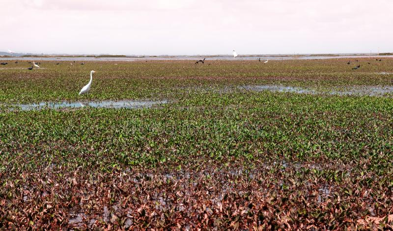 白鹭-在塔拉伊Noi,拉姆萨尔Songkhla湖沼泽地resevoir绿色风景的苍鹭鸟在Phatthalung,泰国 库存图片