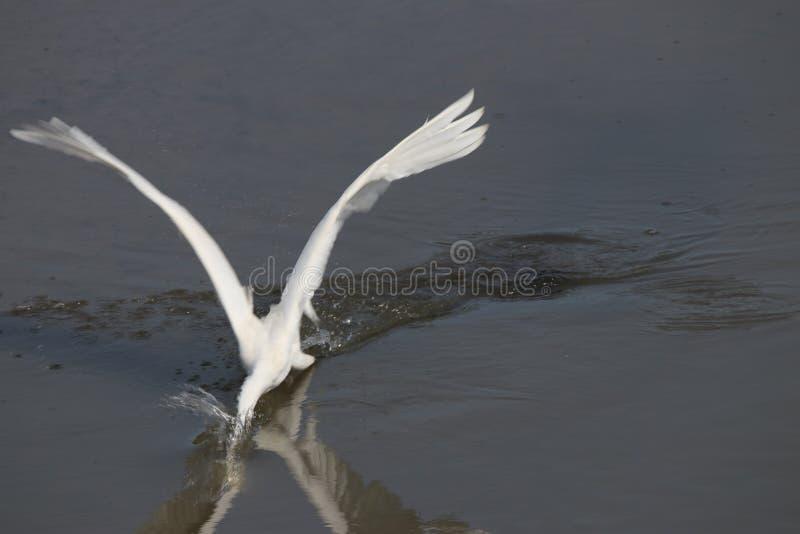 白鹭 库存照片