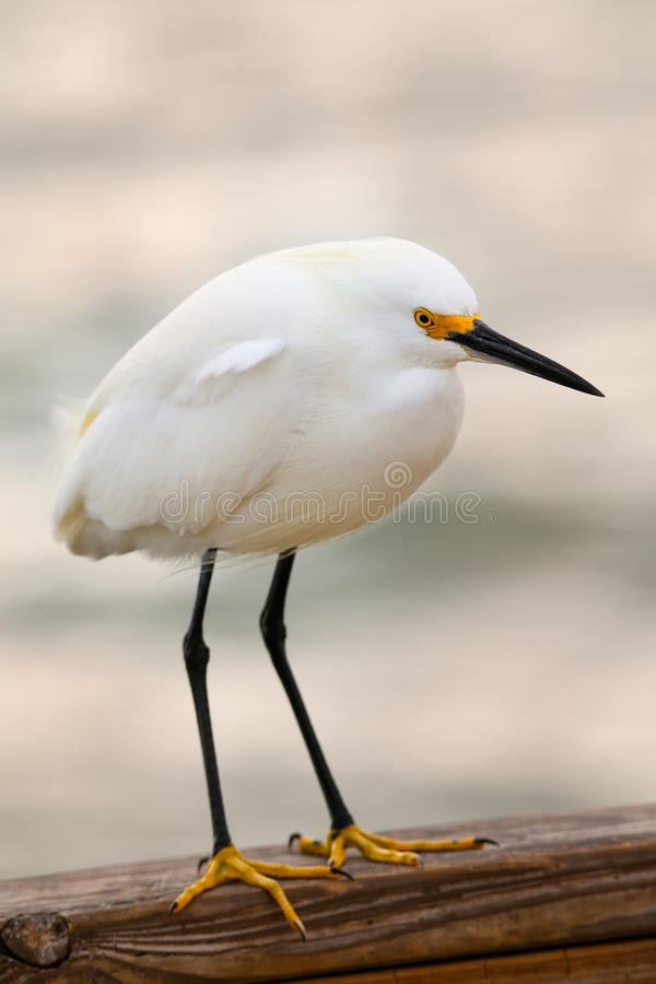白鹭egretta多雪的thula 图库摄影