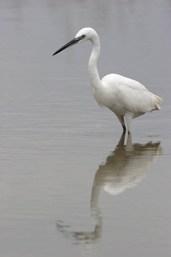白鹭egretta garzetta一点 免版税库存图片