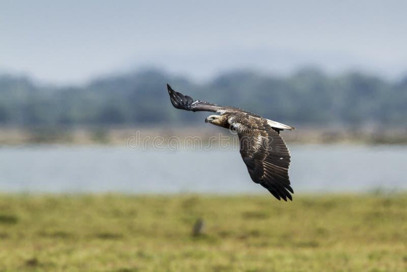 Download 白鼓起的海鹰在Arugam海湾盐水湖,斯里兰卡 库存照片. 图片 包括有 敌意, 硬币, 聚会所, 飞行 - 59104260