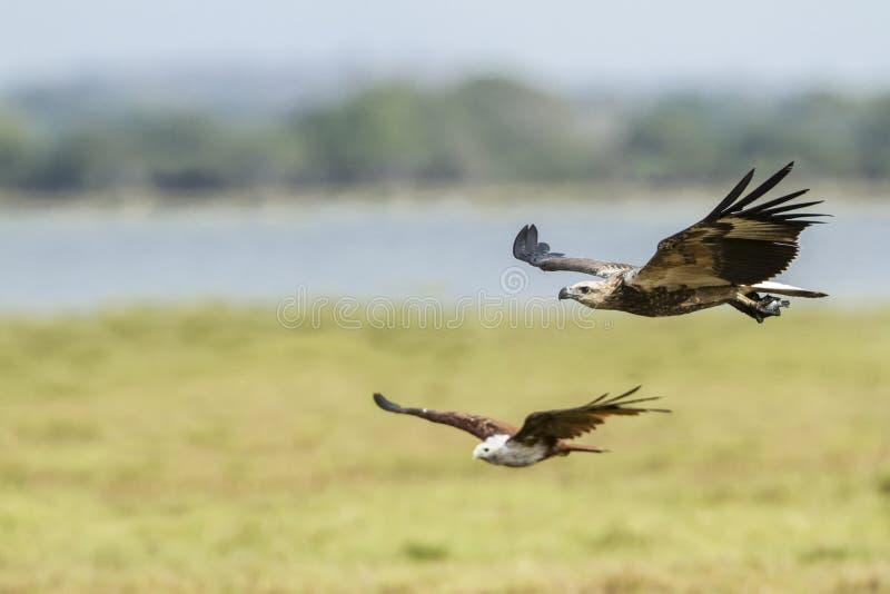 Download 白鼓起的海鹰在Arugam海湾盐水湖,斯里兰卡 库存照片. 图片 包括有 硬币, 牺牲者, 户外, 海运 - 59104408