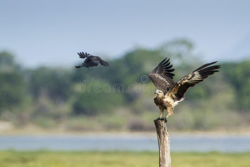 Download 白鼓起的海鹰在Arugam海湾盐水湖,斯里兰卡 库存图片. 图片 包括有 鼓起的, 有效地, 户外, 被照顾的 - 59106011