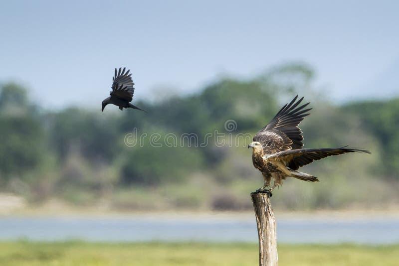 Download 白鼓起的海鹰在Arugam海湾盐水湖,斯里兰卡 库存照片. 图片 包括有 本质, 印度, 预留, 被扭伤的 - 59106068