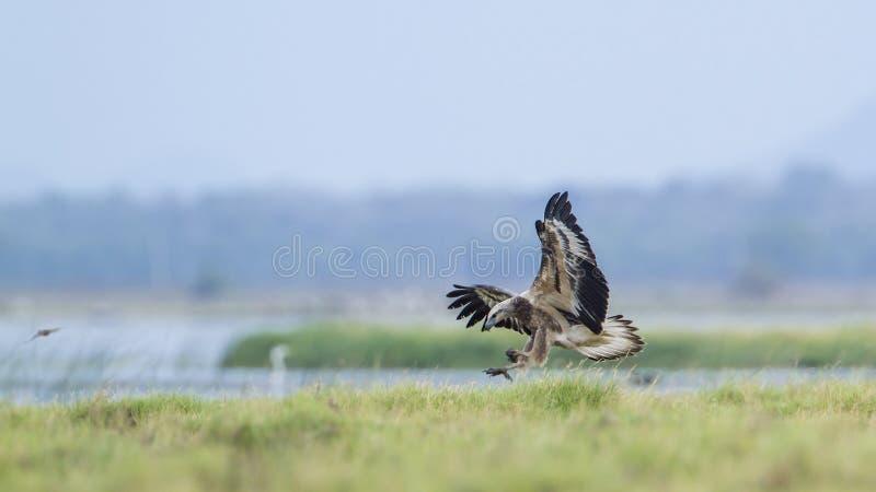 白鼓起的海鹰在Pottuvil,斯里兰卡 免版税库存照片