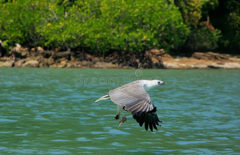 白鼓起的海鹰狩猎,凌家卫岛海岛 免版税库存照片