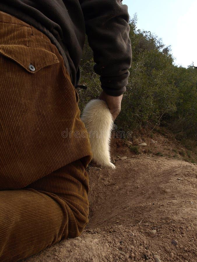 白鼬狩猎 库存图片