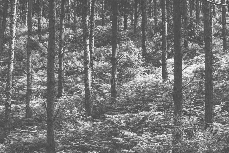 黑白晴朗的森林,减速火箭的样式摄影 图库摄影