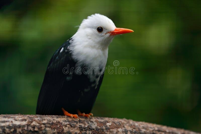 白头的黑歌手, Hypsipetes leucocephalus白色和黑歌手 鸟坐树枝,中国 在nat的稀有人物 库存图片