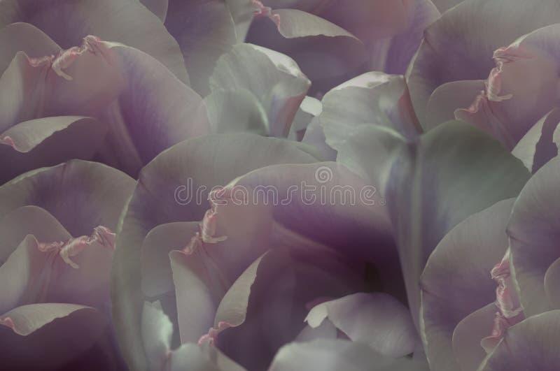 白紫罗兰色桃红色郁金香花 宏指令 特写镜头 背景花光playnig 对设计 背景构成旋花植物空白花的郁金香 向量例证