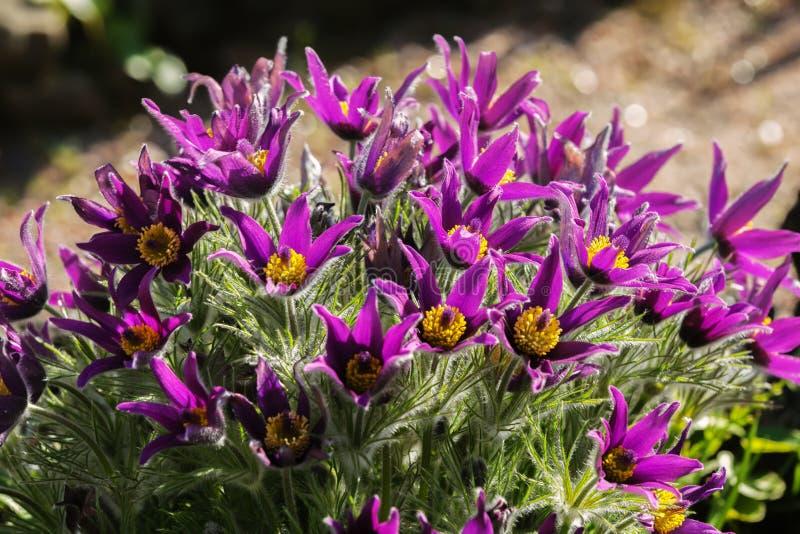 Download 白头翁属armena (Pasque) -开花春天花 库存图片. 图片 包括有 叶子, 春天, 庭院, 绿色 - 72358367