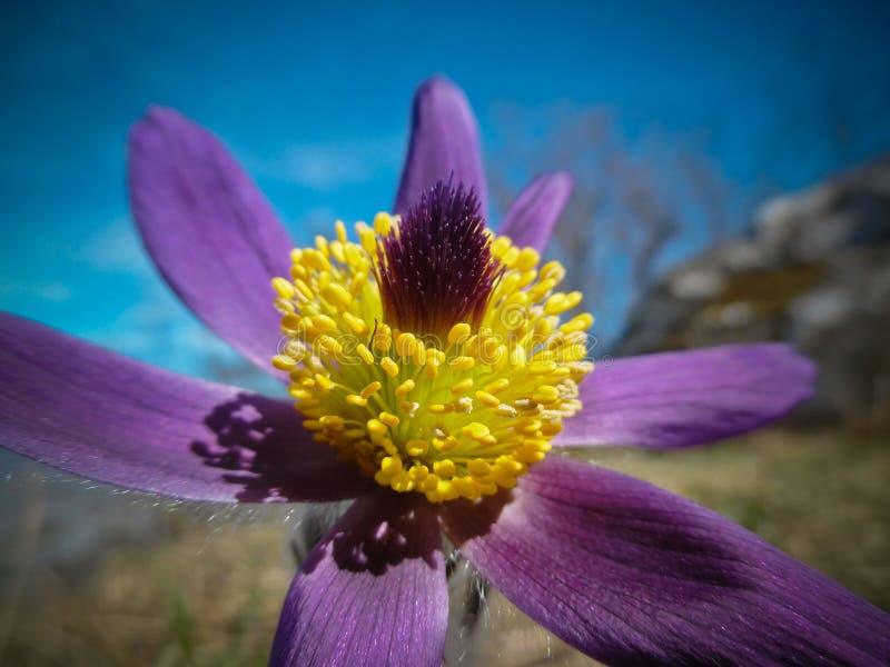 白头翁属vernalis (春天pasqueflower,北极紫罗兰,雪的夫人) 免版税库存照片