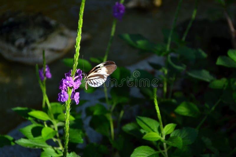 黑白蝴蝶饮用的花蜜 库存图片