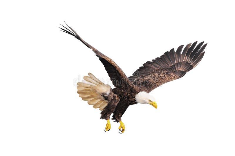 白头鹰。 免版税库存照片