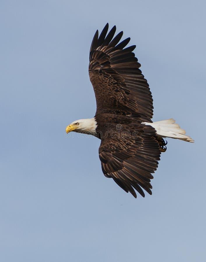 白头鹰传播翼 库存图片