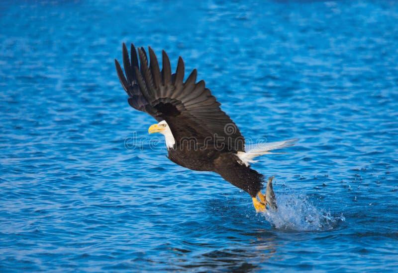 白头鹰传染性的鱼,阿拉斯加 图库摄影