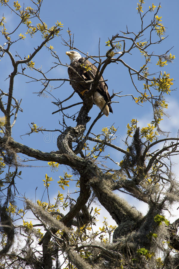 白头鹰在一棵树栖息在中央佛罗里达 免版税图库摄影