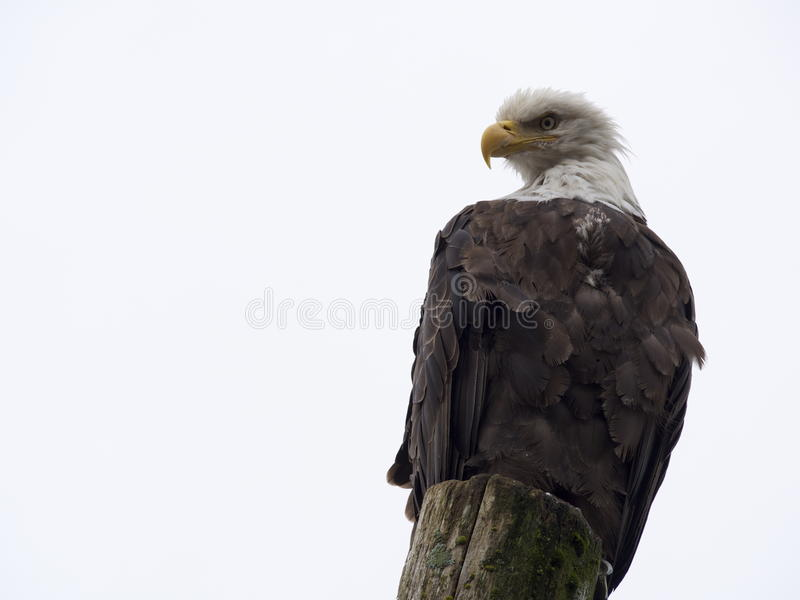 白头鹰在朱诺 库存照片