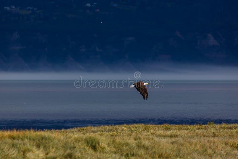 白头鹰在飞行中在水和草甸 库存图片