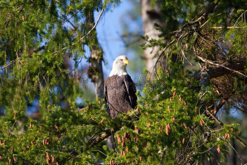 白头鹰坐在不列颠哥伦比亚省雨林里的,温哥华岛,加拿大 免版税图库摄影