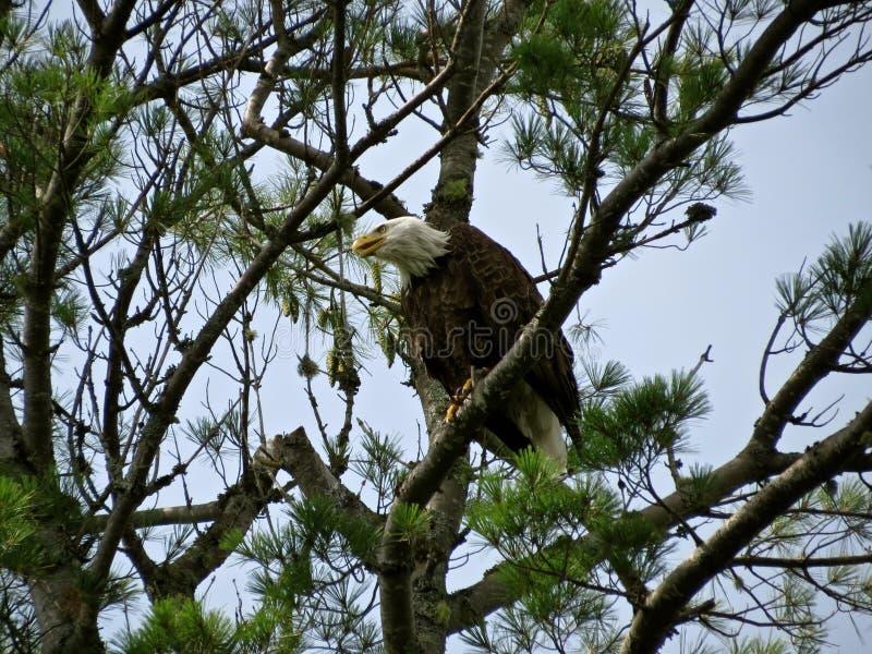 白头鹰狩猎 免版税库存照片