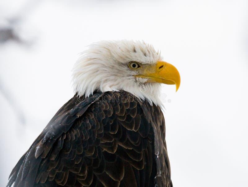 白头鹰纵向 特写镜头 美国 飞机场 Chilkat河 库存照片