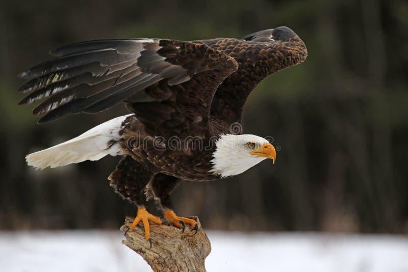 白头鹰起飞