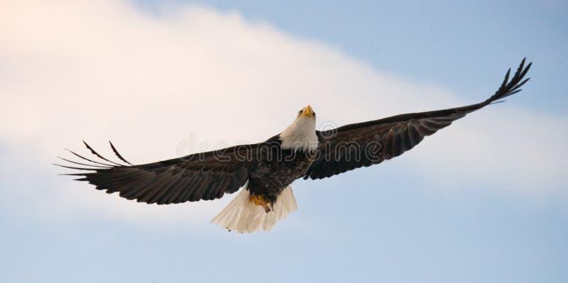 白头鹰飞行 美国 飞机场 Chilkat河 库存图片