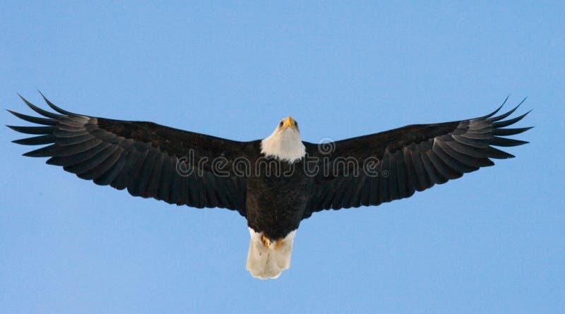 白头鹰飞行 美国 飞机场 Chilkat河 免版税库存图片
