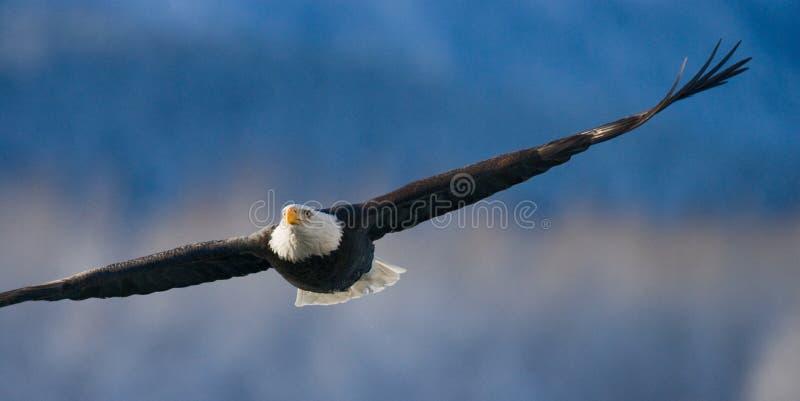 白头鹰飞行 美国 飞机场 Chilkat河 免版税库存照片