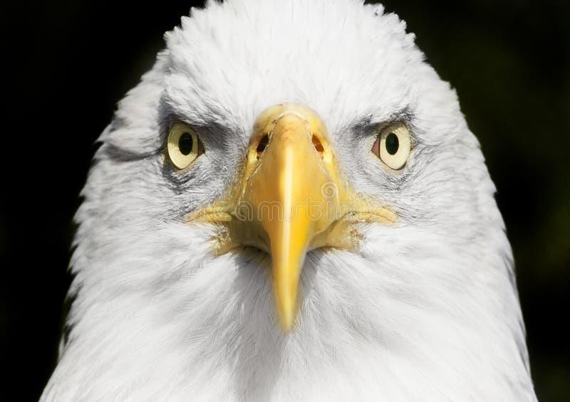 白头鹰画象关闭与在眼睛的焦点 免版税库存图片