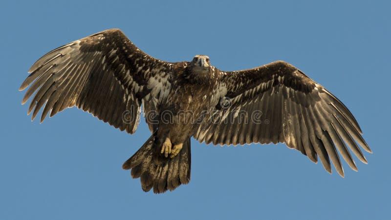 年轻白头鹰 免版税库存图片