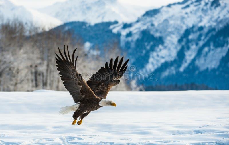白头鹰(Haliaeetus leucocephalus)在雪登陆了 免版税库存图片
