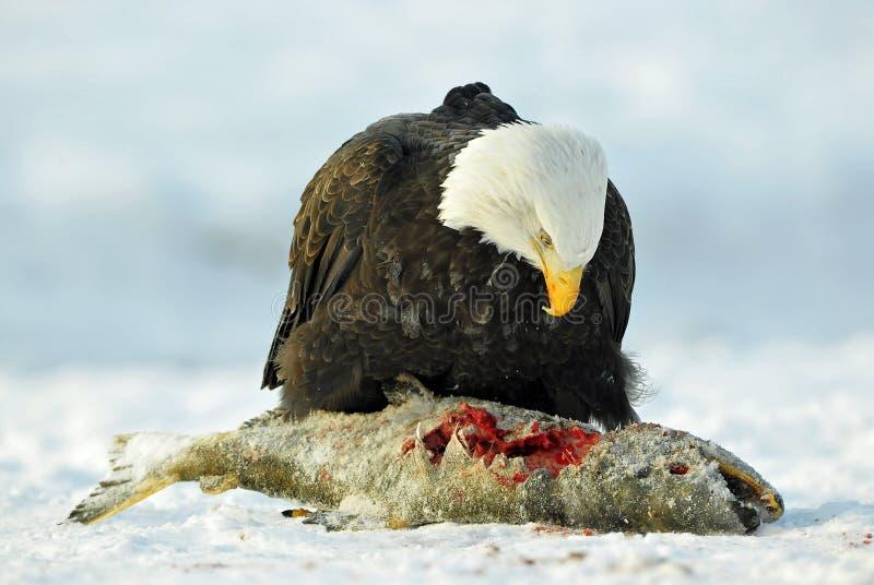 白头鹰(Haliaeetus leucocephalus)坐雪并且吃三文鱼鱼 免版税库存图片