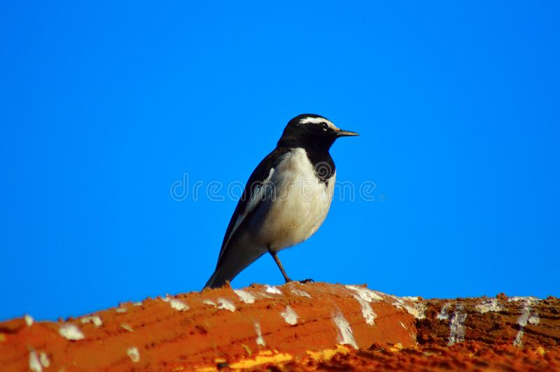 白browed令科之鸟, Motacilla maderaspatensis 在浦那附近 库存图片