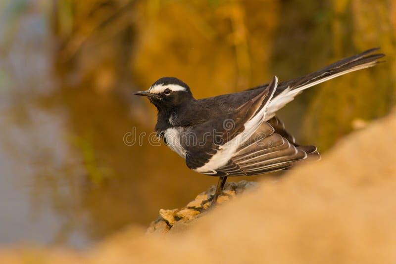 白browed令科之鸟或大染色令科之鸟& x28; Motacilla maderaspatensis& x29; 库存照片