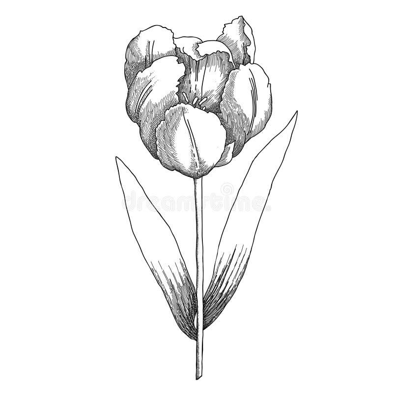 黑白Tulipe的剪影 向量例证