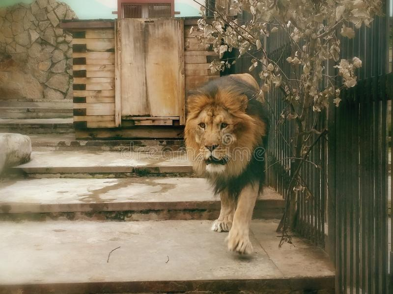 百兽之王狮子 库存照片
