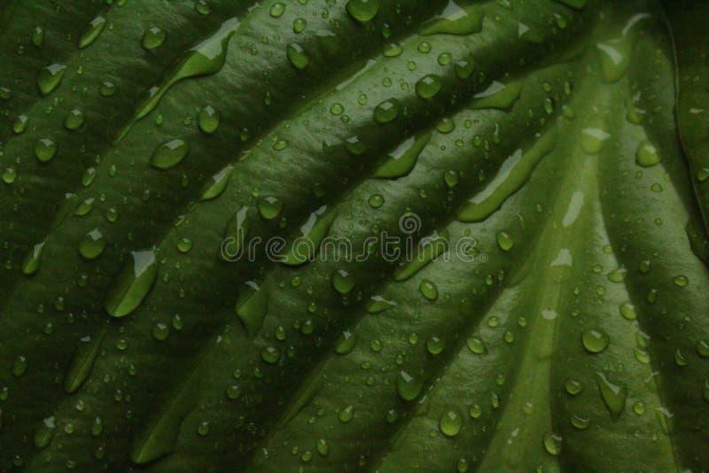百合叶子在雨以后的 免版税库存照片