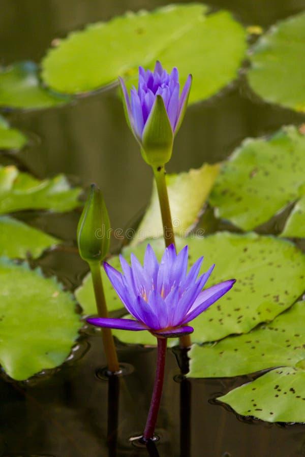 水百合在池塘 免版税库存照片