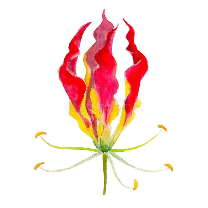 百合在白色背景隔绝的gloriosa花,水彩例证 向量例证