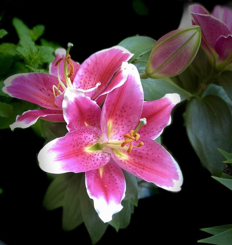 百合开花的特写镜头在春天 库存照片