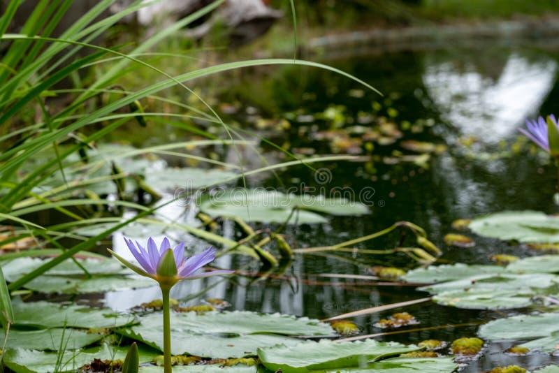 百合池塘在塞奇费尔德,庭院路线,南非 免版税库存照片