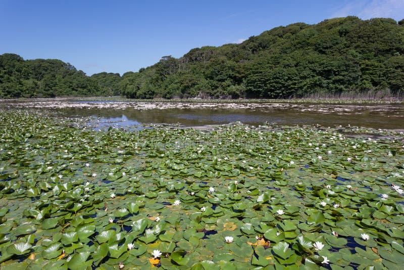 百合池塘 库存图片